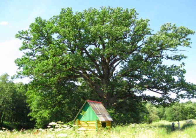 Брянский дуб занял третье место на конкурсе «дерево года»