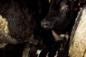 В Суражском районе пограничники задержали микроавтобус с коровами