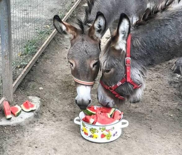 В Брянском зоопарке для животных устроят «арбузный день»