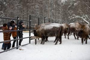 В заповеднике «Брянский лес» на экскурсиях к зубрам побывали более тысячи человек