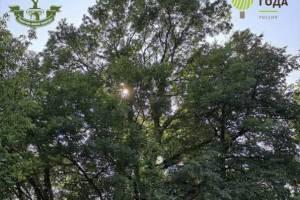 Древний брянский ясень вошёл в число самых удивительных деревьев России