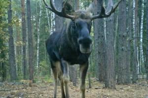 В «Брянском лесу» в объектив фотоловушки попали лоси