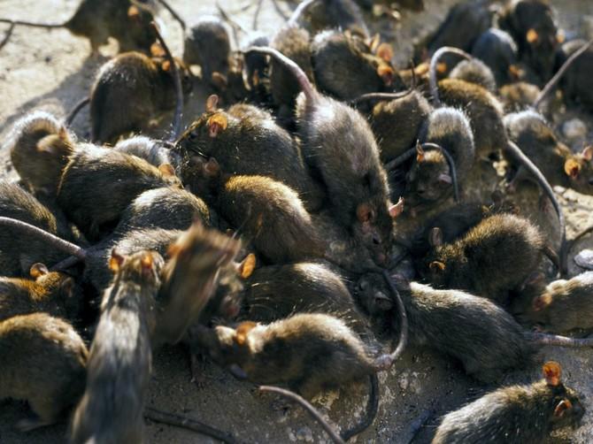 Брянск захватили крысы