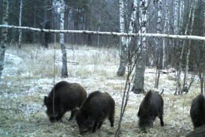 В «Брянском лесу» нашли только двух кабанов
