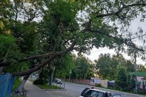 В Бежице на улице 50-й Армии над тротуаром нависло сломанное дерево