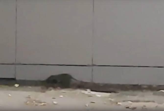 В Белых Берегах возле «Пятерочки» поселились крысы