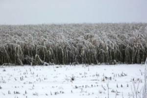 На Брянщине в мороз продолжат убирать кукурузу