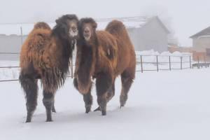 На Локотском конезаводе прошли первые экскурсии к верблюдам