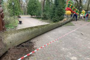 В Брянске распилили рухнувшее дерево в парке Толстого