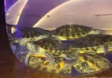 Брянская прокуратура проверит бар с живыми черепахами в кальяне