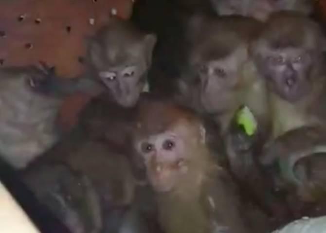 В Брянске собирают деньги на помощь 30 обезьянкам