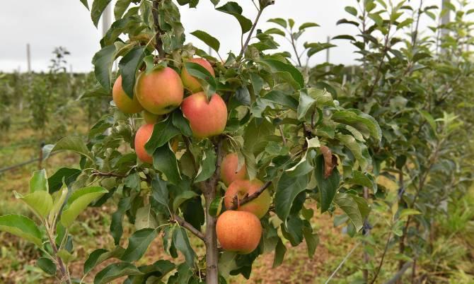 На Брянщине заложили новый яблоневый сад из 2 тысяч деревьев