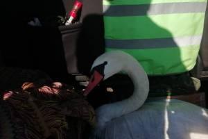 В Клинцах спасли раненого лебедя
