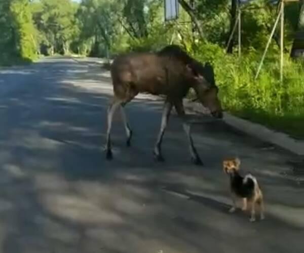 Под Брянском сняли на видео «разговор» с людьми молодого лося