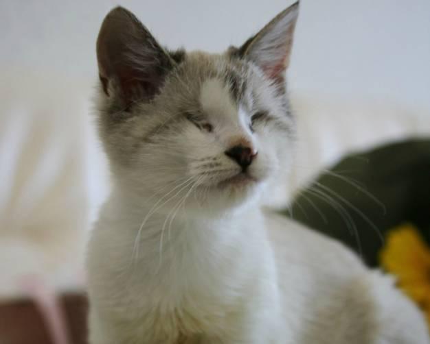 В Брянске ищут хозяев для слепой кошечки Гуппи