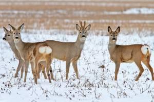 В Брянской области пересчитают лесных животных