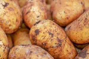 Урожай картофеля на Брянщине оказался под угрозой