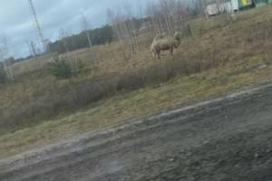 В поле рядом с Навлей вышел пастись двугорбый верблюд