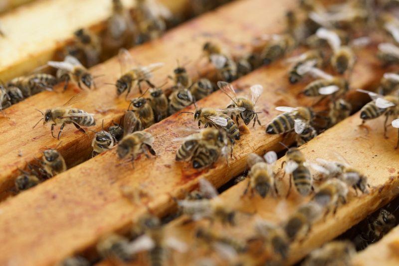 Глава Брянщины обвинил в массовой гибели пчёл джейнерики