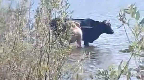В Брянске на озере Орлик устроили мойку коров