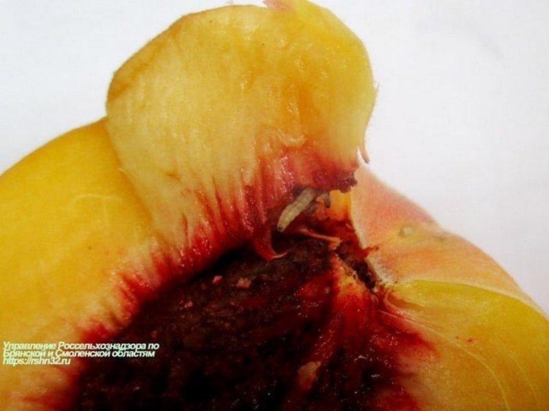 На Брянщине развернули 19 тонн червивых персиков