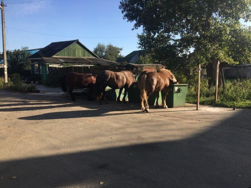В Брянске лошадиное семейство устроило пир у мусорки