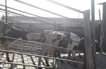 В Гордеевском районе задержали грузовик с тремя коровами-нелегалами