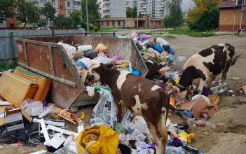 В Брянске коровы устроили на мусорке королевский обед