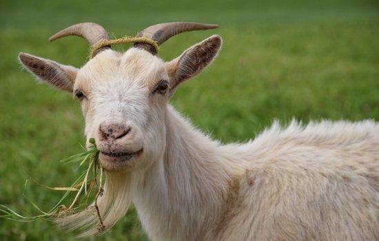 В Навле пообещали хорошее вознаграждение за пропавшую козу