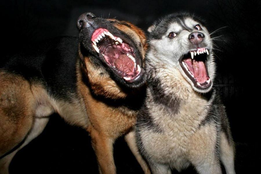 В Брянске стая бродячих собак напала на журналистов