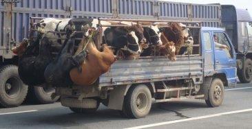 Через Брянскую область пытались провезти контрабандой 34 коровы