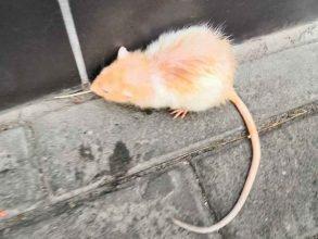 В Клинцах сфотографировали бегающую у ЦУМа крысу