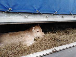В Брянской области задержали два грузовика с телятами-нелегалами