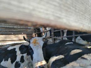 В Брянском районе задержали 20 коров-нелегалов