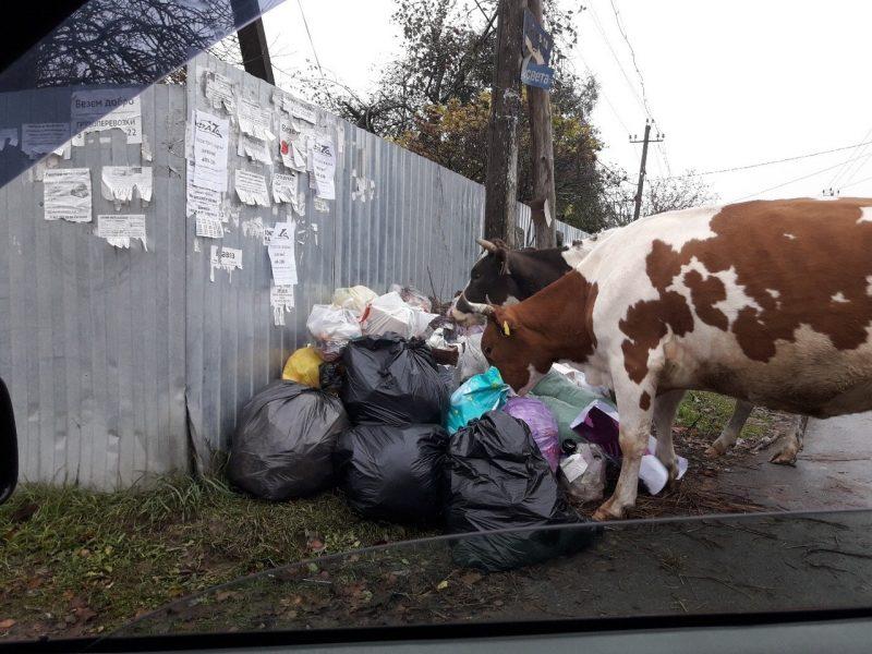 В Брянске заметили питающихся мусором коров