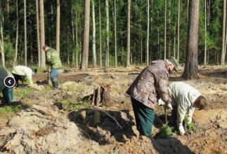 В Карачевском районе высадили 2500 саженцев сосны