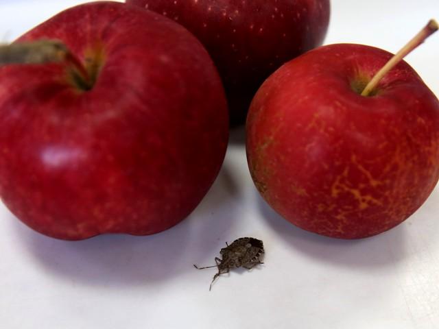 В Брянской области забраковали почти 19 тонн сербских яблок с клопами