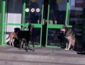 В поселке Локоть бродячие собаки оккупировали магазин «Пятерочка»