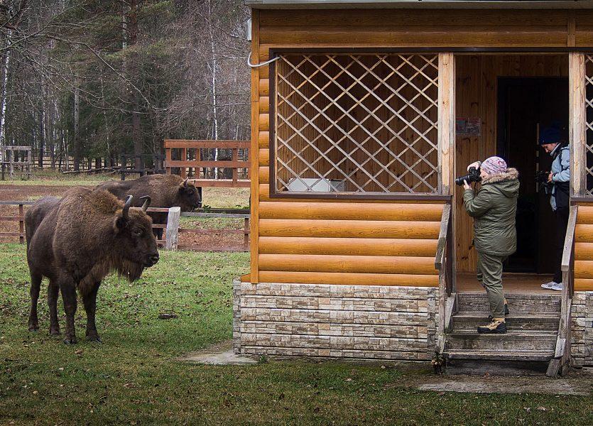 Брянские фотографы «поохотились» на зубров