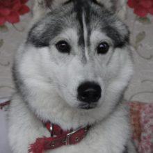 В Жуковке догхантеры зверски убили собаку породы хаски
