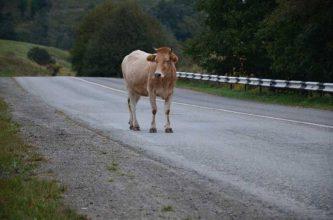Под Мглином водитель иномарки сбил корову и её погонщиков