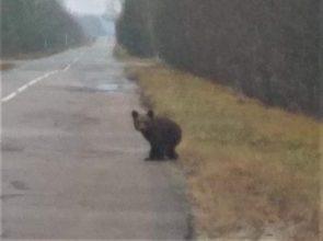 Потерявшегося медвежонка заметили под Суземкой