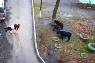 В Володарском районе Брянска тёлки и бараны захватили двор