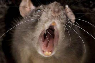 Брянцы пожаловались на огромных крыс возле детсада «Мозаика»