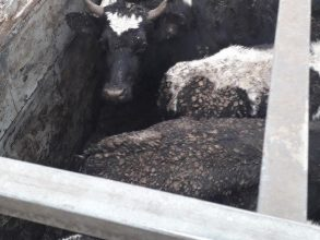 В Новозыбковском районе задержали 50 белорусских бычков-нелегалов
