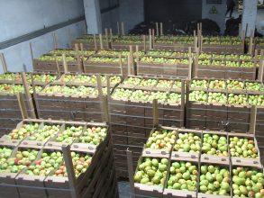 Брянская таможня задержала 40 тонн санкционных груш из Польши