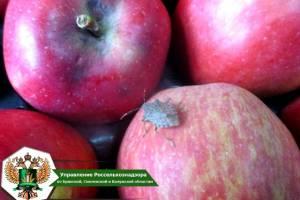 В Брянской области остановили зараженную партию яблок