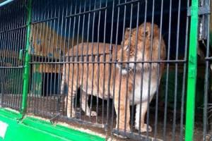 В Карачеве обитателям передвижного зоопарка грозит голодная смерть