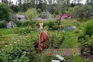 В брянском поселке Навля сняли на фото лося в огороде