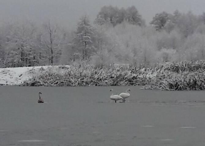 В Клинцах на замерзающем озере может погибнуть семья лебедей
